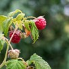 Raspberry (Rubus ideaus) Autumn Bliss (4 Canes) 3L Pot x 1