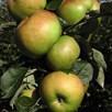 Apple (Malus) Bramley 20 (M27) 11.5L Pot x 1
