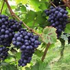 Grape (Vitis) Dornfelder