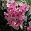 Oleander Collection 14cm Pot x 3 Inc: