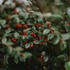 Cotoneaster Franchetii 3.6 Litre Pot x 2 Inc:
