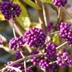 Callicarpa Bodinieri Profusion 3.6 Litre Pot x 2 Inc: