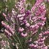 Erica (Heather) Pink Spangles 2 Litre Pot x 2 Inc: