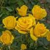 Rose (Bush) Grandma's Rose 3 Litre Pot x 1