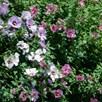 Hibiscus Tricolour
