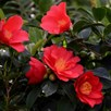 Camellia 1001 Summer Nights Jasmine