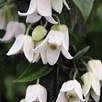Clematis Winter Beauty 2 Litre Pot x 2
