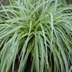 Carex Feather Falls