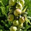 Apple (Malus) Golden Delicious (M9) 5 Litre Pot x 1