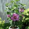 Hibiscus Syriacus Big Hibiskiss 3.6 Litre Pot x 1