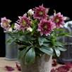 Helleborus orientalis Plant - Hello Amber
