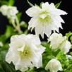 Helleborus orientalis Plant - Double Ellen White