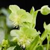 Helleborus lividus Green Marble