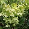 Helleborus Argutifolius Plant