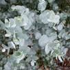 Eucalyptus gunnii  - Azura