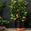 Calamondin (Citrus) on Trellis 15cm Pot x 1