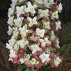 Hydrangea Snowflake 12cm Pot x 2 Inc: