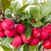 Apple (Malus) Appeltini 13cm Pot x 1