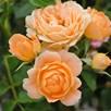 Rose Sweety Standard 7 Litre Potx 1