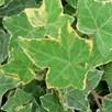 Hedera Helix Goldchild 3 Litre Pot x 1