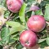 Apple (Malus) Spartan (M26) 12L Pot x 1