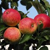 Apple (Malus) Red Falstaff (M27) 11.5L Pot x 1