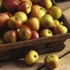 Apple (Malus) Cox Orange (Self Fertile) (M27) 11.5L Pot x 1