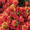 Azalea Plant - Geisha Orange