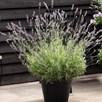 Lavender Angustifolia Platinum Blonde