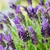 Lavender stoechas Bandera 2 litre potted x 2