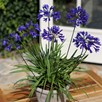 Agapanthus Brilliant Blue