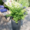 Acer Palmatum Going Green 13cm Pot x 1