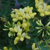 Coronilla Citrina