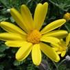 Euryops Pectinatus 3 Litre Pot x 1