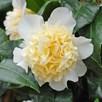 Camellia japonica Brushfield Yellow 3 Litre Pot x