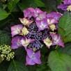 Hydrangea Black Diamonds Shining Angel 10.5cm Pot