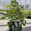 Rubus Benenden 3.6 Litre Pot x 1