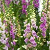 Foxglove (Digitalis) Mixed  1 Litre Pot x 1