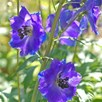 Delphinium Blue Bird 1 Litre Pot x 1