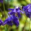 Aquilegia vulgaris
