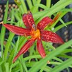 Hemerocallis Crimson Pirate