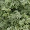 Artemisia Arborescens Powis Castle 1 Litre Pot x 1