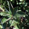 Aronia Arbutifolia Brilliant