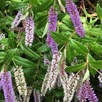 Hebe Midsummer Beauty 2 Litre Pot x 1