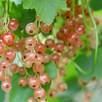 Pinkcurrant (Ribes) Gloire De Sablon 3L Pot x 1