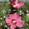 Hibiscus Woodbridge