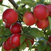 Apple & Pear Tree Duo