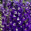 Delphinium Dark Blue & White Bee