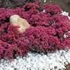 Sedum Plant - Sunsparkler Dazzle Berry