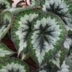 Begonia Emerald Giant